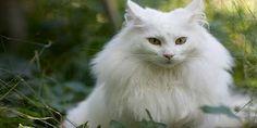 Apa saja ciri-ciri kucing anggora asli dari ras yang original http://www.kucinglovers.com/ciri-ciri-kucing-anggora-asli/ #kucing #kucinglovers #pecintakucing #hewanpeliharaan #binatangpeliharaan #cat #catlovers #animal #anggora #kucinganggora #anggoraasli #rasanggora #kucingrasanggora #cirianggoraasli