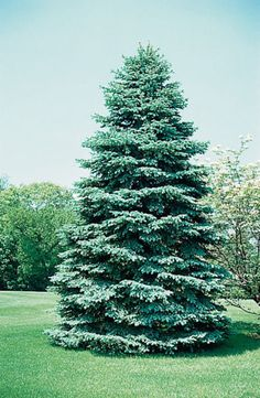 spruce trees - Google Search