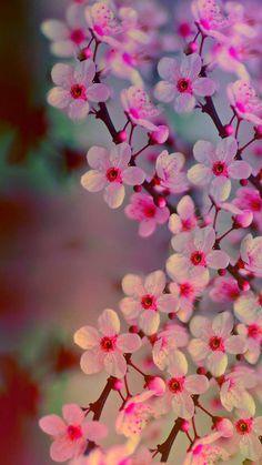 Flower, my flower, flower phone wallpaper, cherry blossom wallpaper iphon. Flower Background Wallpaper, Flower Phone Wallpaper, Flower Backgrounds, Iphone Wallpaper, Cherry Blossom Wallpaper Iphone, Animal Wallpaper, Wallpaper Backgrounds, Cherry Blossom Background, Background Colour