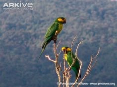Yellow-eared parrots in tree -endangered