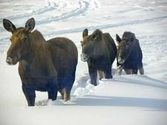 "Fairbanks Daily News-Miner - The voice of Interior Alaska since 1903 The three ""Mooseketeer's"""