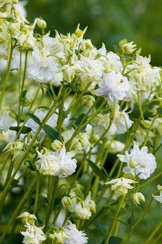 Aquilegia vulgaris var. flore-pleno 'Tower White' blooms