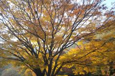 """""""Autumn wins you best by this its mute appeal to sympathy for its decay. Golden Leaves, Fade Out, Breath In Breath Out, South Korea, Autumn, Robert Browning, Albert Camus, Travel, Image"""
