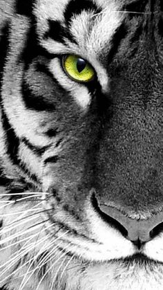 Customize your iPhone 5 with this high definition White tiger wallpaper from HD Phone Wallpapers! Iphone Wallpaper Cat, Tier Wallpaper, Animal Wallpaper, Wallpaper Samsung, Trendy Wallpaper, White Tiger Pictures, Tiger Images, Beautiful Cats, Animals Beautiful