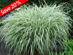 Miscanthus Variegatus - Giant, 5' deer-proof variegated grass. A Hedge Plant that thrives with Ornamental Grasses, Sedums, & KnockOut Roses.
