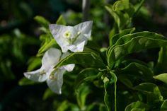 Bougainvillea White Cascade 175mm Pot | Dawsons Garden World