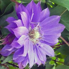 Clematis 'Teshio' - New Vines - Vines - Avant Gardens Nursery & Design