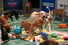 'The Puppy Bowl': The Super Bowl's Fiercest Rival via @dailybeast #puppybowl #puppies #animalplanet