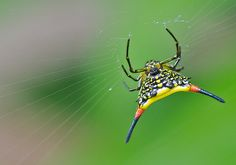 Spiny Spider Gasteracantha hasselti by tajong, via Flickr