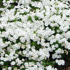 Sammalleimu White Delight Moon Garden, Fall Season, House Plants, Perennials, Outdoor Gardens, Home And Garden, Backyard Ideas, Balcony, Nature