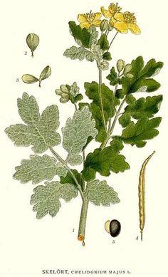 Chelidonium majus by Carl Axel Magnus Lindman Natural Healing, Botanical Prints, Cactus Plants, Flora, Plant Leaves, Nature, Gardening, Fun, Medicinal Plants