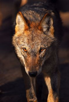 brutalgeneration:  iberian wolf / lobo ibérico (by jbtello2)