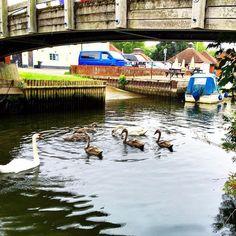 https://flic.kr/p/wk5tgw | Beccles Quay -  swans certainly love it! #upsticksandgo #beccles #becclesquay #michfrost #boats #englishsummer #unitedkingdom #travel #tourist #exploring #instagood #instatravel #instatourist