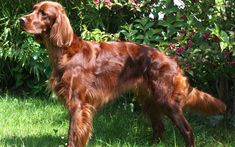 Amazing history of dog breed - Irish Setter. Diseases of Irish Setter. Funny Animal Pictures, Dog Pictures, Irish Dog Breeds, Red And White Setter, Irish Setter Dogs, Most Beautiful Dogs, Irish Terrier, Dog Wallpaper, Red Dog