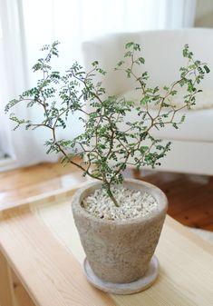 Sophora prostrata