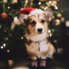 I love the blurriness of the background which allows a clear corgi focal point and the Christmas spirit Corgi Pictures, Cute Dog Pictures, Dog Photos, Animal Pictures, Corgi Puppies, Christmas Animals, Christmas Dog, Merry Christmas, Xmas