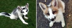 http://www.viralistas.com/wp-content/uploads/2015/01/fox-species-photography-5-3.jpg  MARBRE RENARD- marble fox - zorro mármol