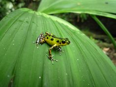 Strawberry dart frog (Oophaga pumilio) Isla Colon, Panama. by hollywoodtb