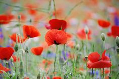 Pretty Poppies by Sarah Tomlin.