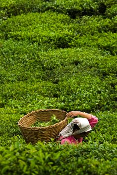 A tea garden labourer plucks tea leaves at the organic tea garden of Temi Tea Estate in India's Himalayan state of Sikkim