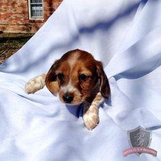 Dachshund puppy - Lilly Bell
