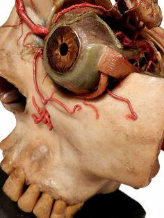 Oversized Wax Anatomical Model - 1800s