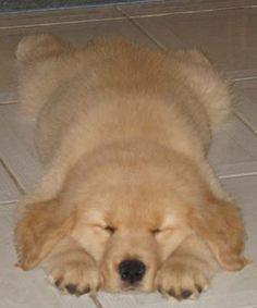 Baby Golden Retriever