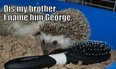 hedgehog pictures - Google Search