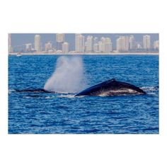 This poster shows a pair of Humpback whales taking a breather on the surface in the waters off Surfers Paradise, Australia during their annual migration. #whale #whales #humpback #humpbacks #nature #wildlife #humpbackwhale #blowhole #ocean #sea