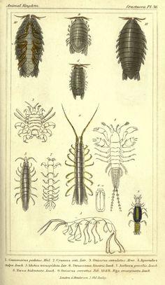 The animal kingdom, arranged according to its organization London :G. Henderson,1834. biodiversitylibrary.org/page/2459306