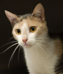 Dilute Calico/Domestic Short Hair cat
