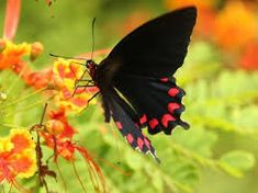 Resultado de imagem para borboletas lindas