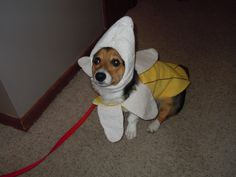 I'm a banana!!  It's always the right time of year for a Banana corgi!  Dottie is not amused….  Submitted by Dan and Laura