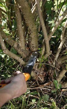Sehr starke Äste schneidet man mit einer Baumsäge ab (links). Dünnere Zweige entfernt man ganz oder kürzt sie mit einer Gartenschere dicht hinter einem neuen Austrieb (rechts)