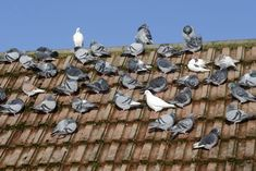 How to Get Rid of Pigeons Naturally? How to get rid of pigeons naturally? Get rid of pigeons on balcony. Get rid of pigeons on the roof. Home remedies to get rid of pigeons off balcony window. Pigeon Repellent, Pigeon Nest, Pigeon Bird, Get Rid Of Pigeons, Getting Rid Of Bees, Homing Pigeons, Bird Netting, Boutique Hair Bows, Bricolage