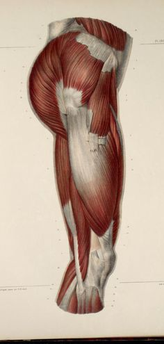Muscles+of+the+buttocks+and+thigh.jpg (494×1038)