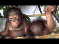 These Two Orangutans Eating Fruit Will Be The Cutest Thing You'll See All Day