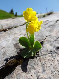 Eine Aurikel in einer Felsspalte am Kämitor im Wettersteingebirge. Rock Flowers, Flowers Nature, Exotic Flowers, Amazing Flowers, Yellow Flowers, Wild Flowers, Beautiful Flowers, Alpine Flowers, Alpine Plants