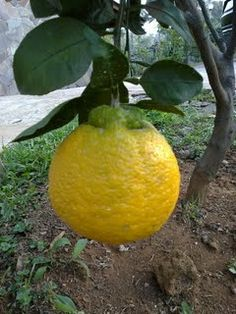 Dekopon - a seedless and a very sweet citrus fruit. The fruit is a Japanese hybrid between mandarin and orange Funky Fruit, Weird Fruit, Strange Fruit, Fruit Plants, Fruit Trees, Trees To Plant, Exotic Fruit, Tropical Fruits, Fresh Fruits And Vegetables