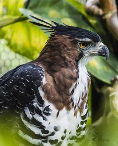 Parmi les nombreuses espèces d'oiseaux qui peuplent la #Guyane, l'aigle et son #regard perçant...