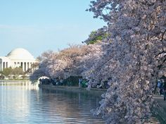 Washington D.C. glows aplenty with delicate cherry blossom petals in the spring. The Martin Luther King, Jr. Memorial on the banks of the Tidal Basin might be the best place to appreciate the flowers of the 182 new trees planted in 2011 (or jump in a paddleboat onto the basin itself ). #WashingtonDC #iGottaTravel