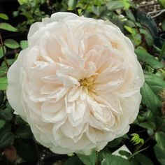 Gruss an Aachen, plant avail at High Country Roses, Denver. Large, very double, good repeat bloomer