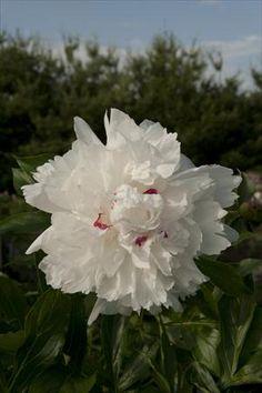 Festiva Maxima peony - full sun to part shade - early spring bloomer