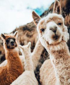 Cute little alpacas in the mountains. Alpacas, Cute Creatures, Beautiful Creatures, Animals Beautiful, Cute Baby Animals, Animals And Pets, Funny Animals, Animals Photos, Animals Planet