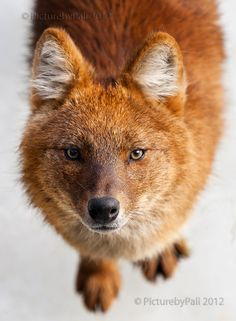 """""""I Think I will get You"""" by PictureByPali.deviantart.com --- The Dhole (Cuon alpinus) is a species of canid native to Southeast Asia."""
