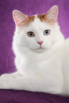 Michigans oldest established Turkish Van cattery We strive for the ... #catbreeds - Know moreat - Catsincare.com!