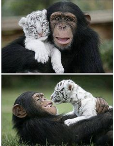 Chimp and white tiger become best friends.Aw the smile on the chimp! Cute Creatures, Beautiful Creatures, Animals Beautiful, Majestic Animals, Beautiful Babies, Cute Baby Animals, Animals And Pets, Funny Animals, Monkeys Animals