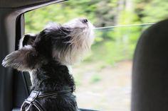 My boys love car rides !!!!!    #schnauzer