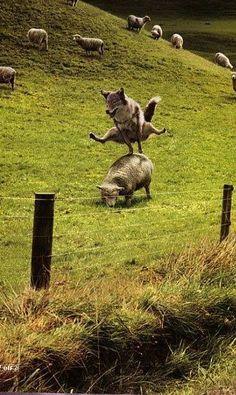 just playing leap frog. I mean leap sheep Funny Animal Jokes, Funny Animal Videos, Cute Funny Animals, Funny Animal Pictures, Animal Memes, Funny Photos, Funny Dogs, Cute Dogs, Haha Funny