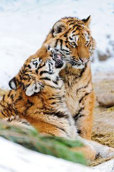 Tiger - Tigers Photo (30651776) - Fanpop